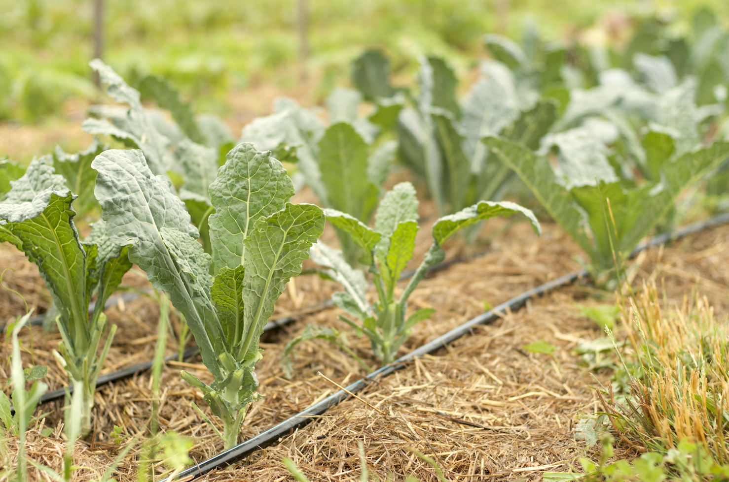 Tuscan kale beds, after the mature outer leaves have been trimmed and bundled for sale at the Co-op.