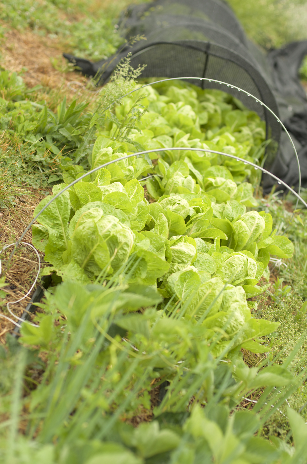 [A row of green lettuce, angled away from the viewer. The closest heads are visible, and those behind are still covered by black mesh.]