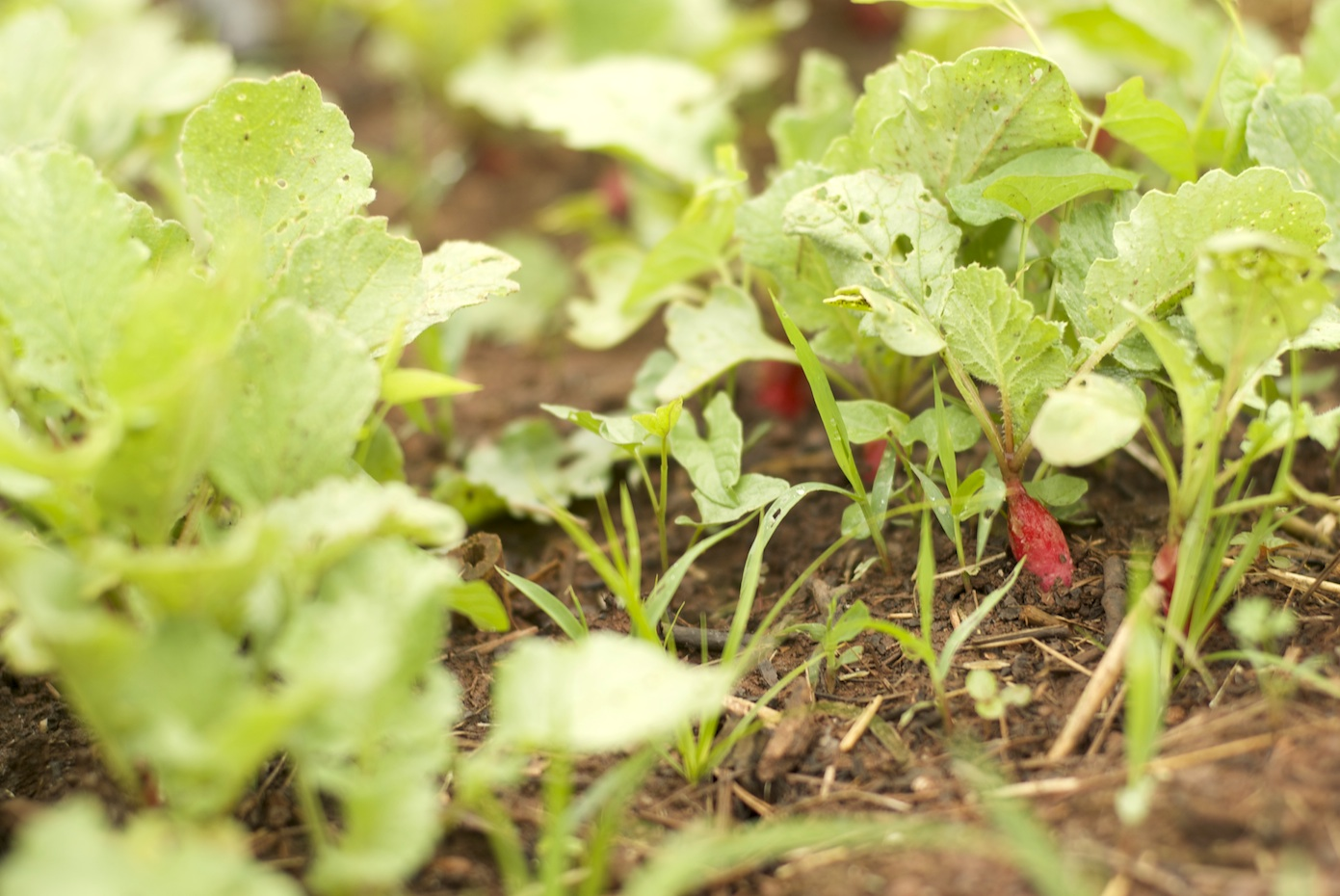 [Low to the ground, several tiny radishes poking up from the soil. Most of the plant is frilly green leaves.]