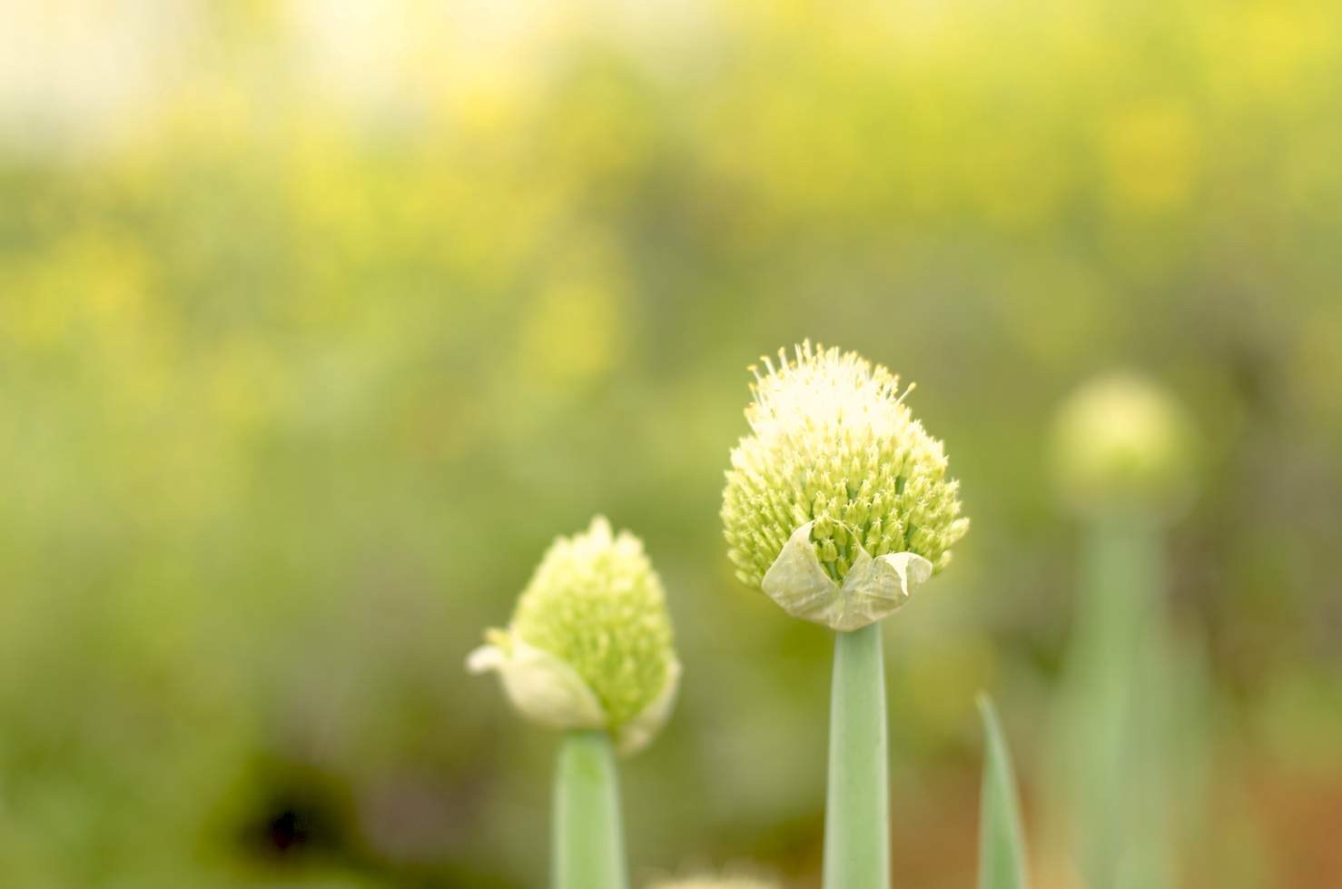[The tips of scallions, which are holding up puffy-looking white and green flowers.]
