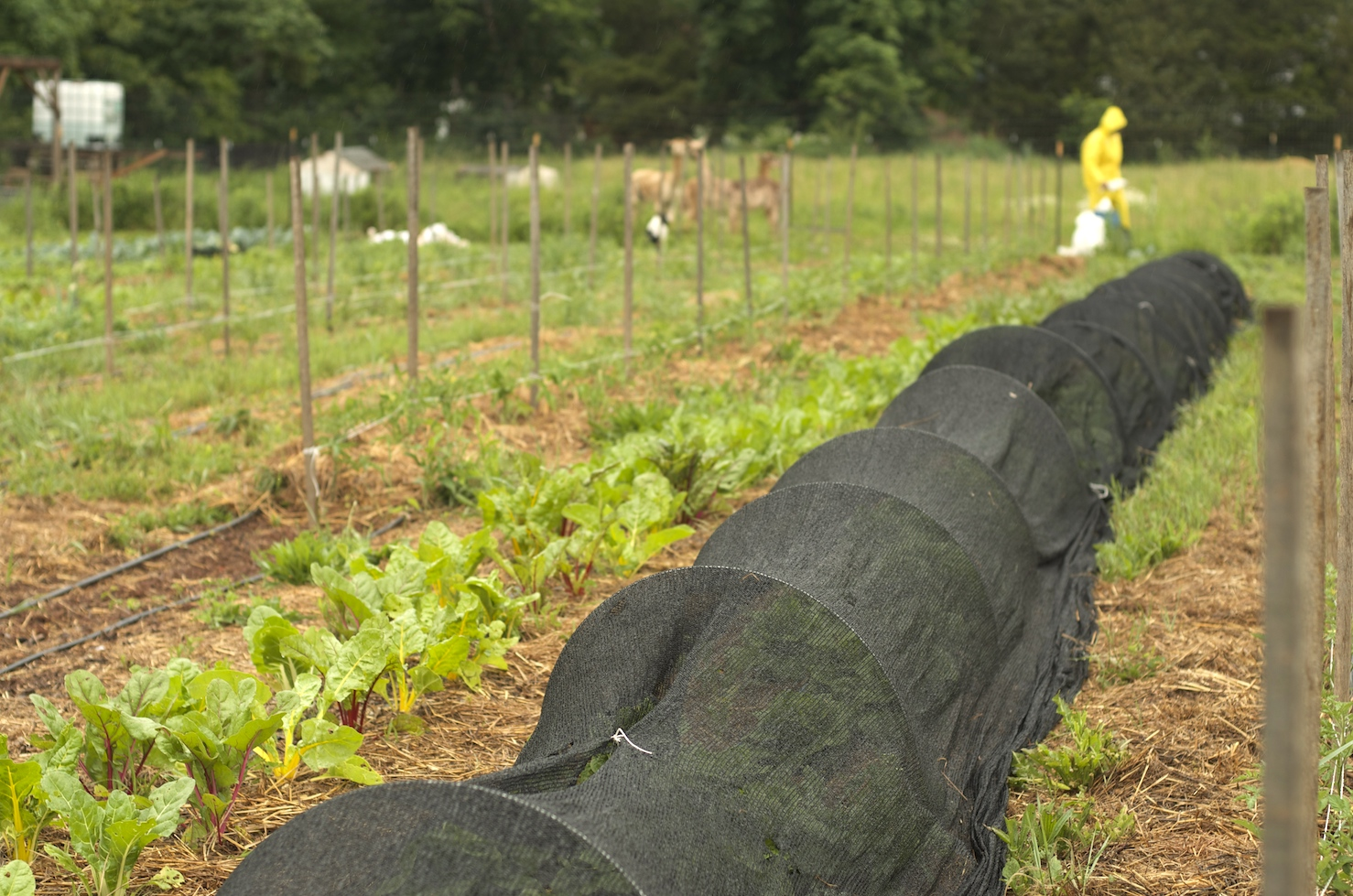 [Looking down rows of mesh hoops and leafy green vegetables. A person in yellow rain gear is visible in the distance.]