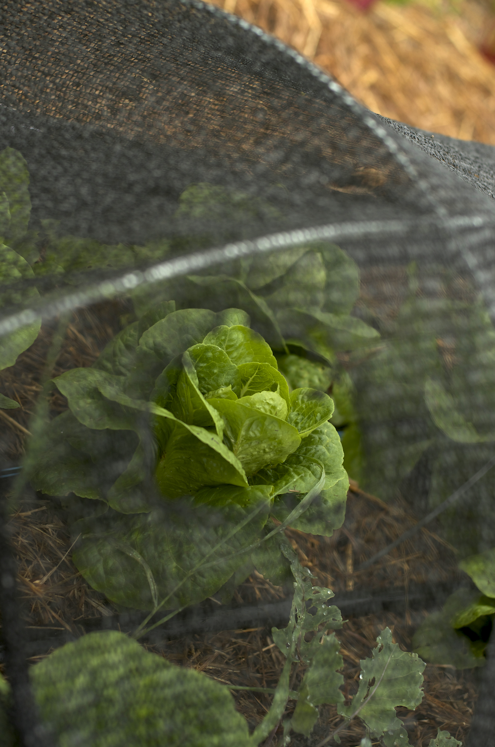 [Close up of butter lettuce head visible through a tear in the black mesh cover.]