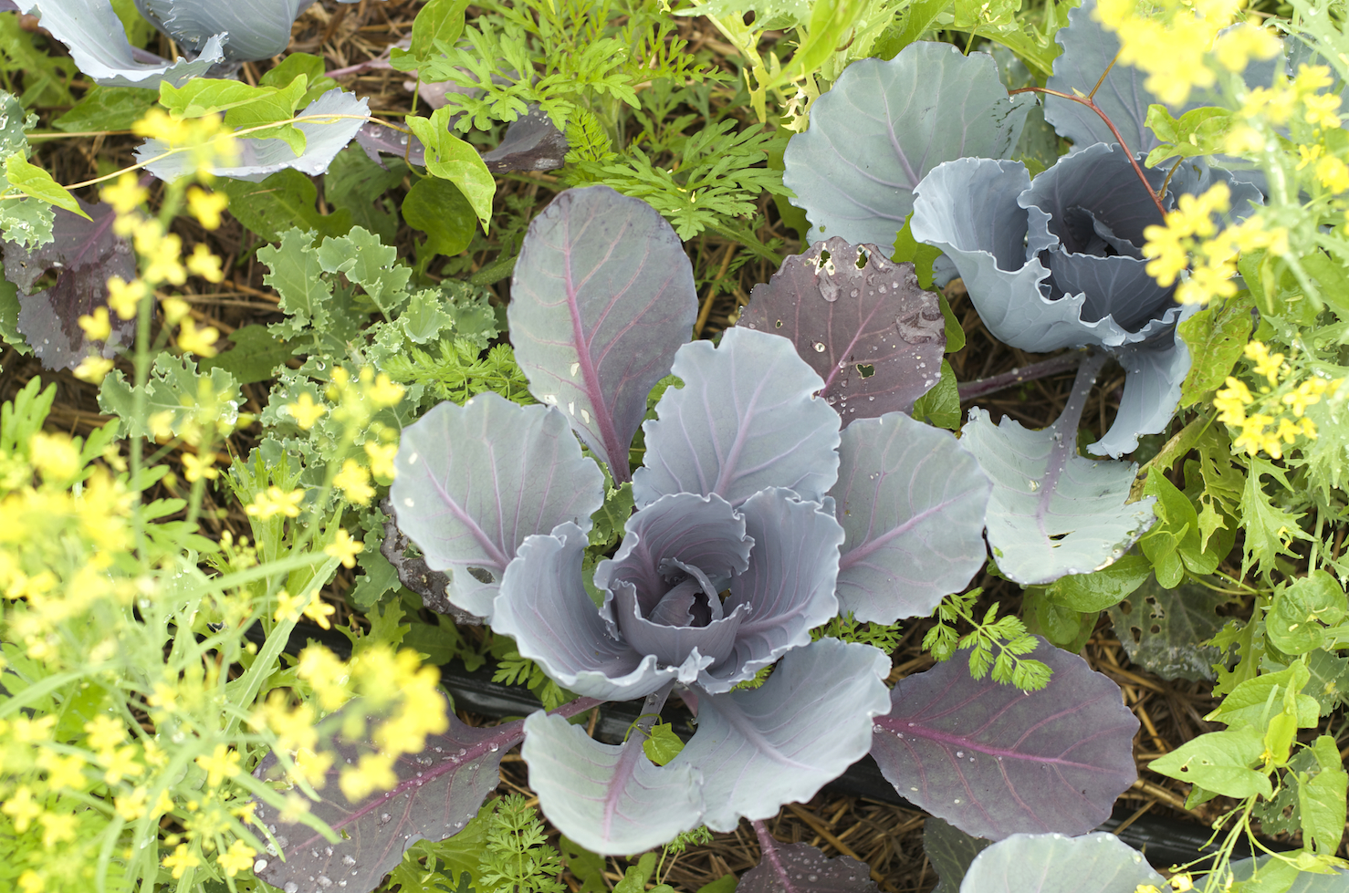 [Purple-gray leaves growing outward from a central point. Surrounded by green and yellow frilly leaves.]