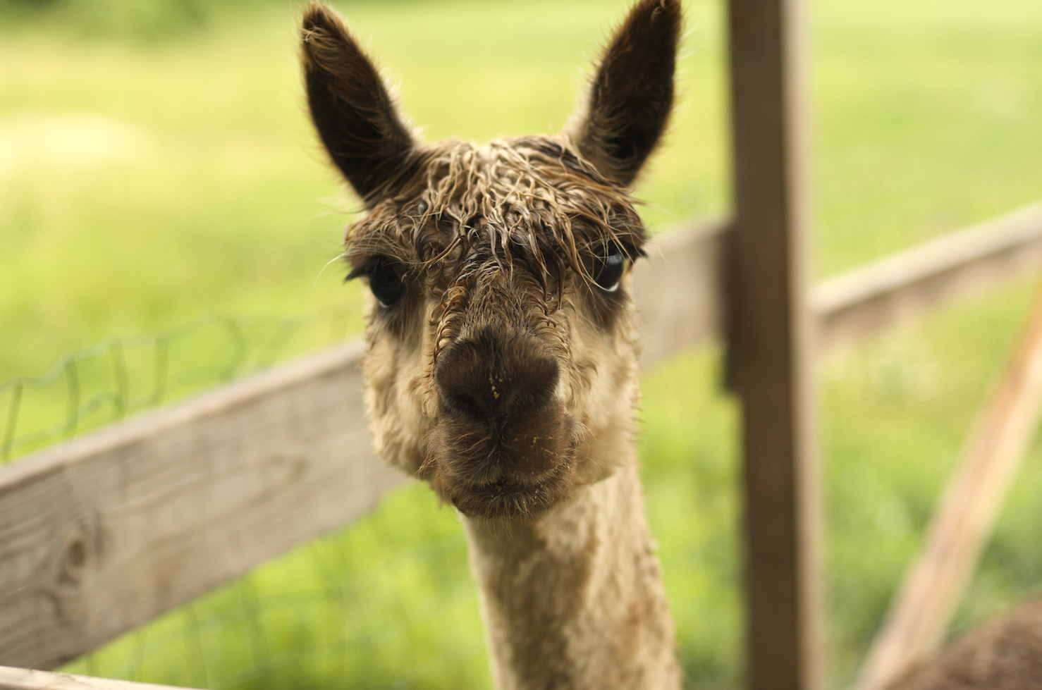 [An alpaca from the neck up, looking directly at the viewer with ears perked]